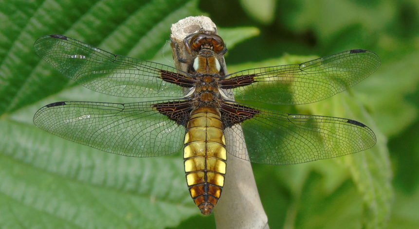 Braod-bodied Chaser 2